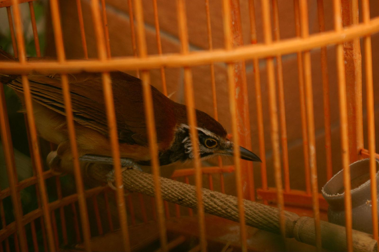 最全的画眉眼水图谱; 原来我家的鸟叫黑领噪鹛;(1600x1063)-画