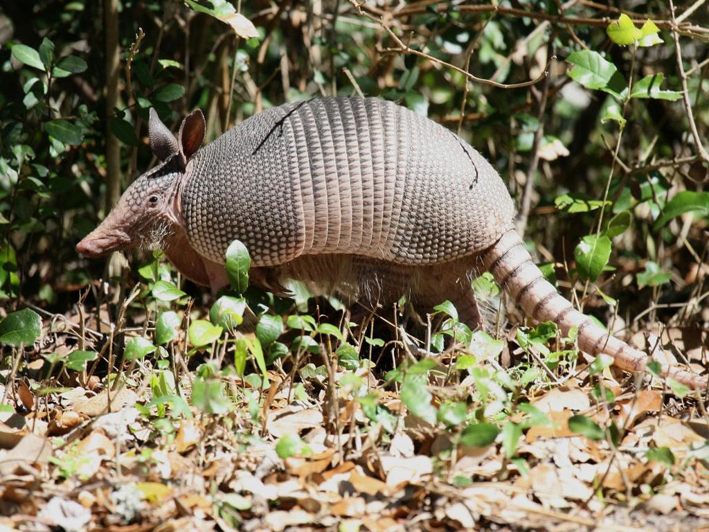 犰狳共分为2科8属20种,生活在南美和中美洲的广大地区.