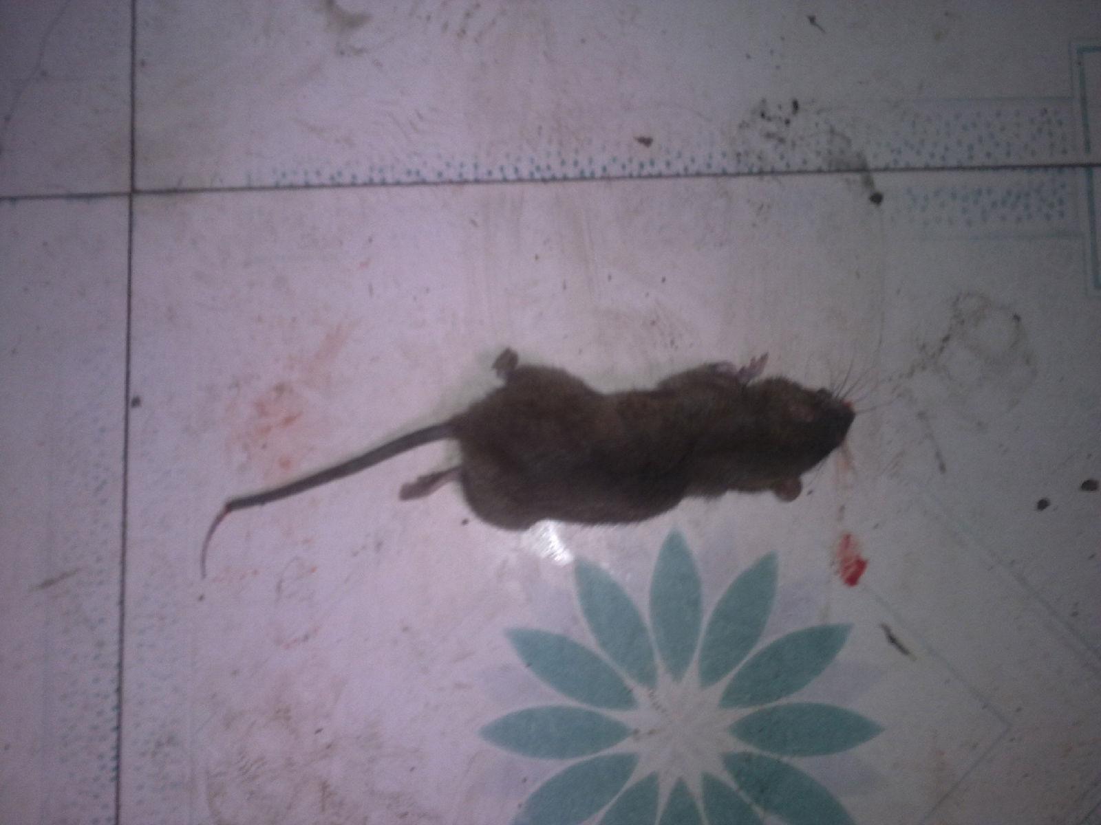 小女子刚才踩死了一直老鼠有jb