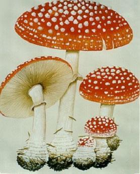 十七种常见毒蘑菇_高原的蓝天下_百度空间