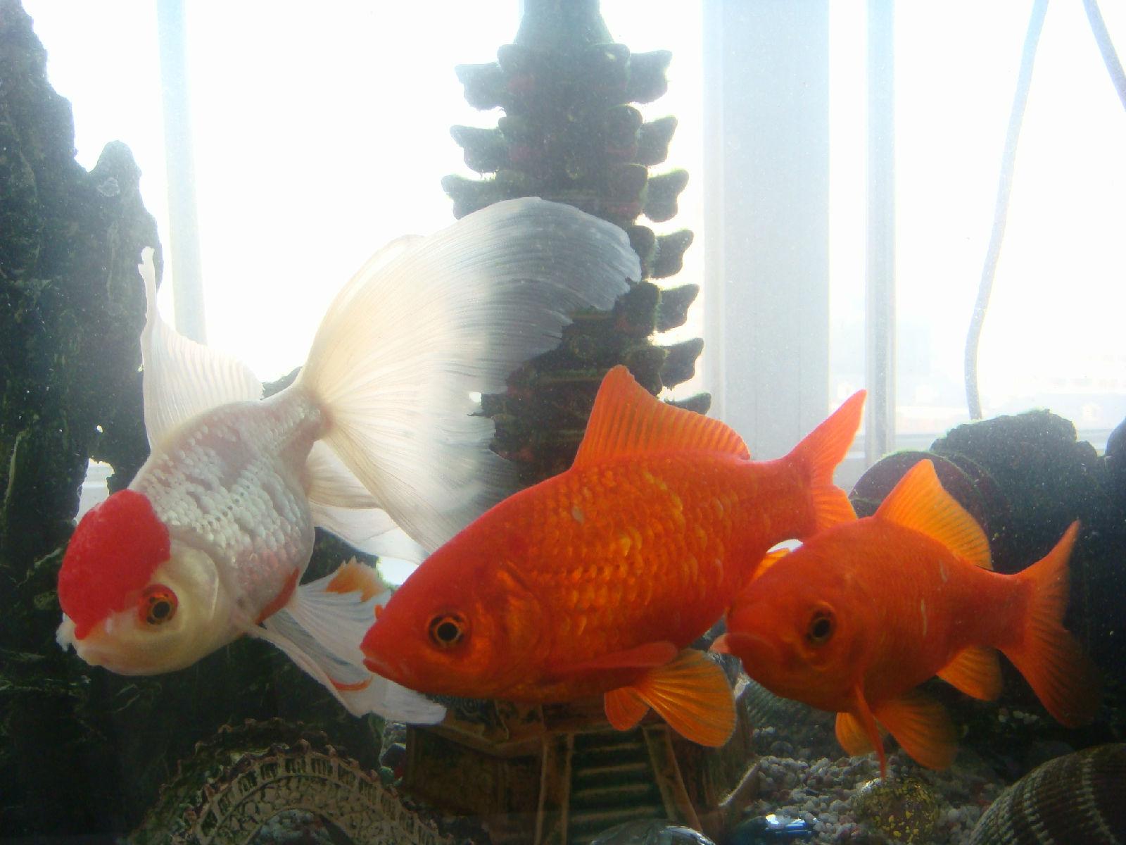 扎扎留在北京的金鱼