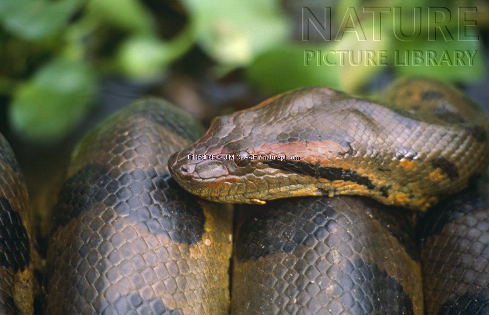 森蚺是最大的蛇类?图片
