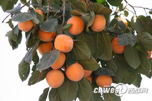 富平柿子节,家乡的骄傲 - 锦屏农夫 - 锦屏农夫(原创)