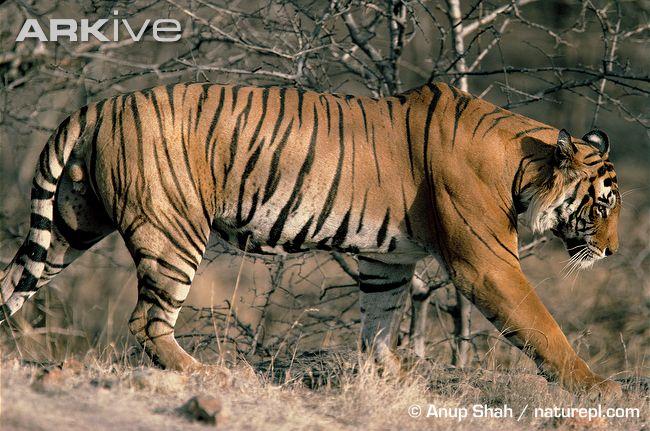 大家818狮子和老虎打架谁厉害 高清图片