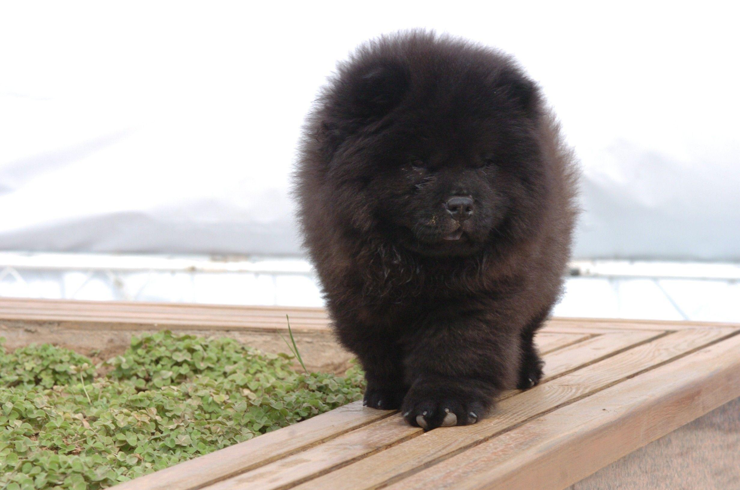 松狮犬 世界犬协fci 犬类打斗能力排名 藏獒 德牧排名超低高清图片