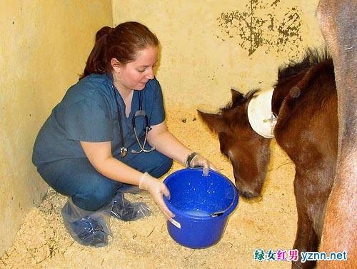 美女兽医为种马人工授精全过程组图