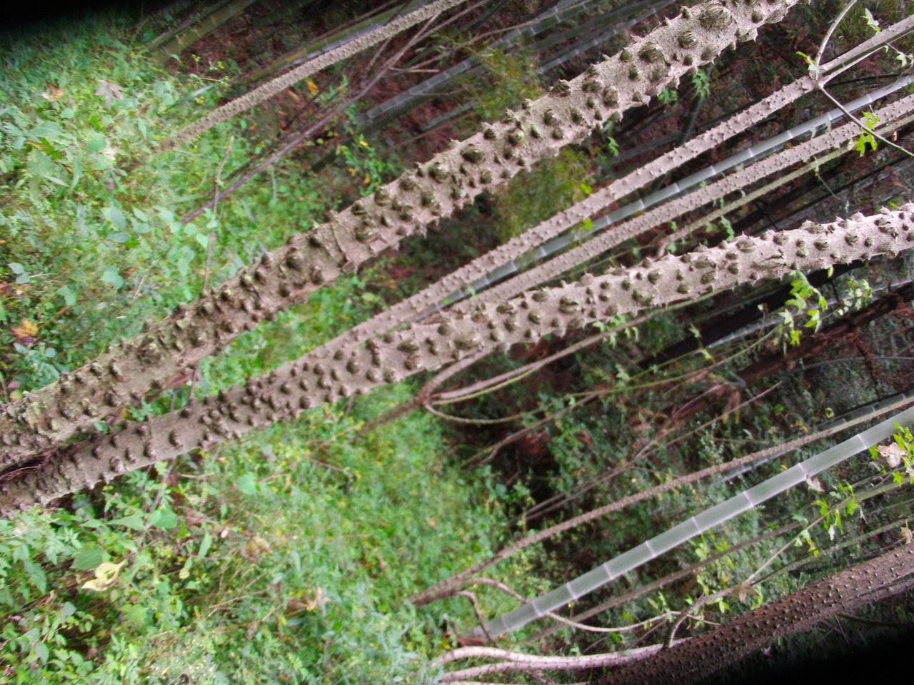,看到地里长了很树杆长刺的树,请问这树叫什么树
