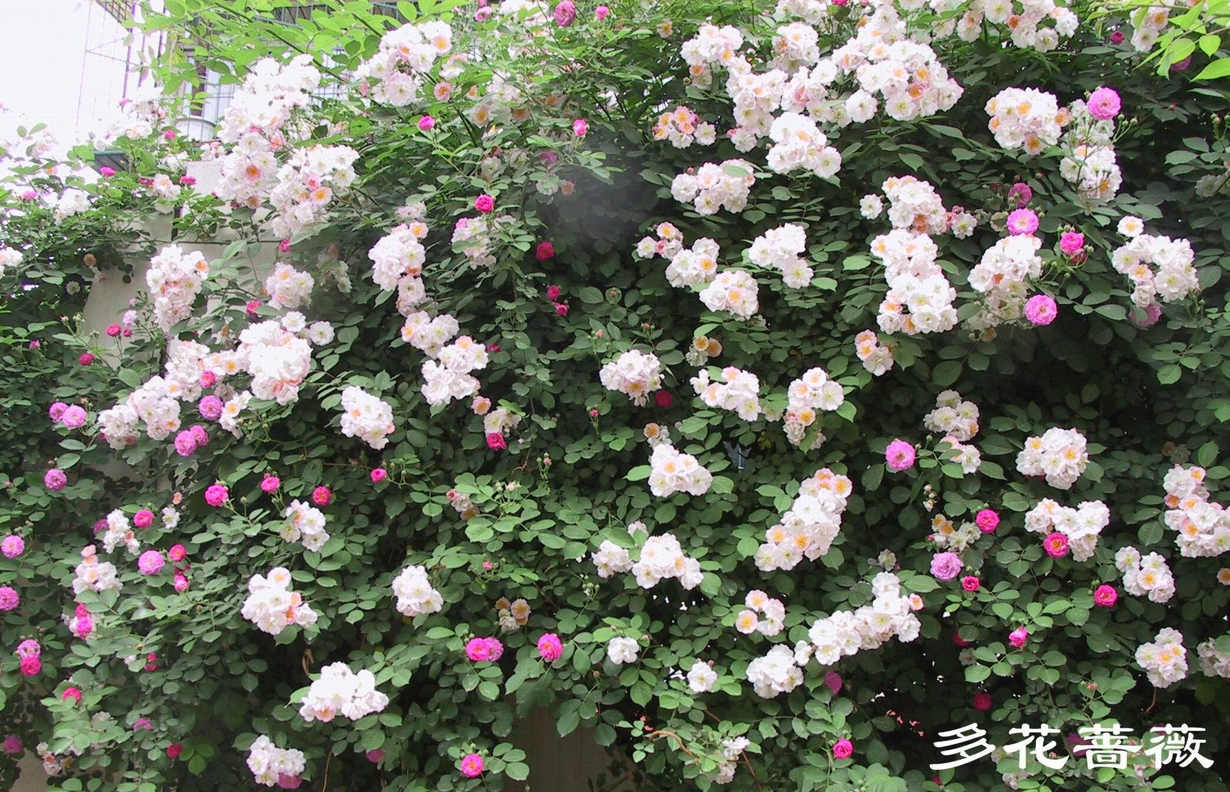 野蔷薇 - 解现任 - 解现任的教育博客