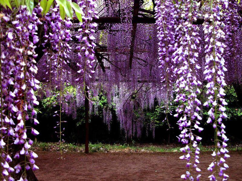 紫藤/紫恋 - 幸儿 - 心中的日月