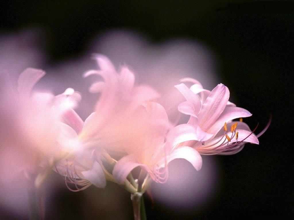 野百合花开了 - 幸儿 - 心中的日月