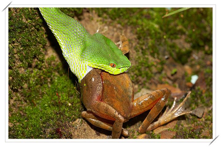 梦见抓青蛙结果遇蛇咬