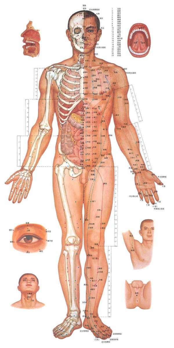 男性上半结构 男性上半结构 男性人体结构