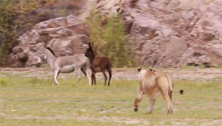 BBC地球频道:幼狮捕驴记,驴群能逃脱吗?