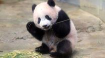 熊猫香香跃升日本网红主播