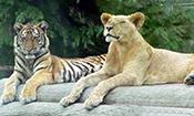 老虎和狮子干仗谁更厉害