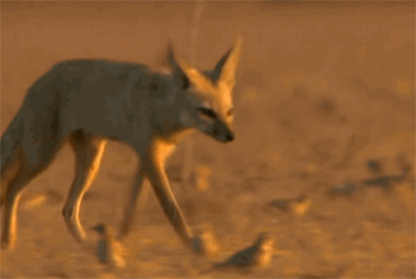 有着霸气豹纹的沙丘猫,这次输给印度狐了