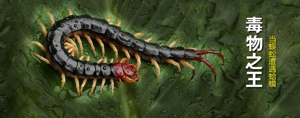 毒物之王——当蜈蚣遭遇蛤蟆