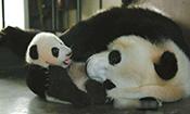 大熊猫么么儿麻麻