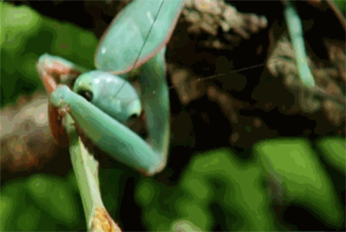 交配完就被吃,螳螂爸爸为了后代牺牲非常大