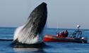 巨大座头鲸贴着船弦跃出水面