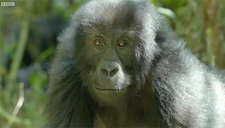 大猩猩对自己的镜像会有什么反应呢