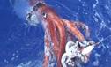挪威深海巨型鱿鱼居然长达20米