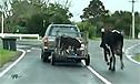 小牛关笼被运走母牛小跑想追回
