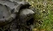 乌龟张着嘴蛇竟然自己往里爬