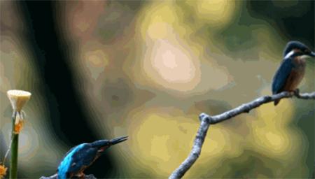 超美翠鸟,优雅捕鱼慢镜头,难得一见!