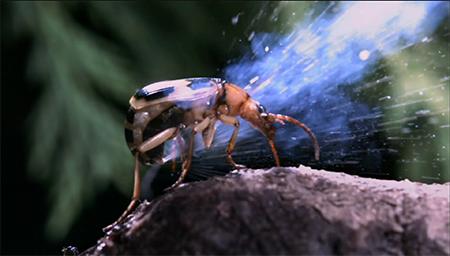 这昆虫遇袭会喷百度高温液体 青蛙吃了一口就吐了