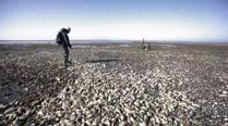 丹麦海岸生蚝泛滥向中国求救