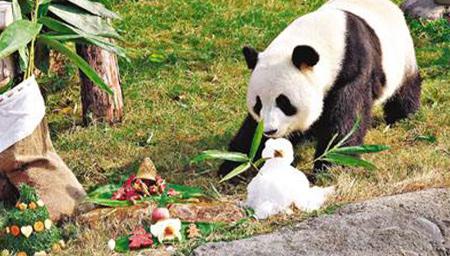 香港海洋公园大熊猫传喜讯