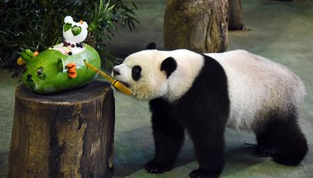 """台湾大熊猫""""圆仔"""" 迎来4岁生日"""