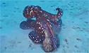 实拍章鱼捕食鱼儿的全过程