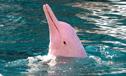 罕见粉红色海豚现身香港海域