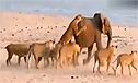 十四只狮子同时围攻一只大象