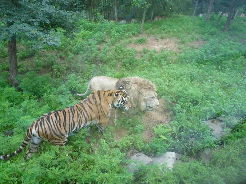 藏獒与老虎打架片,藏獒能打过老虎吗,狮子老虎吃藏獒的肉高清图片