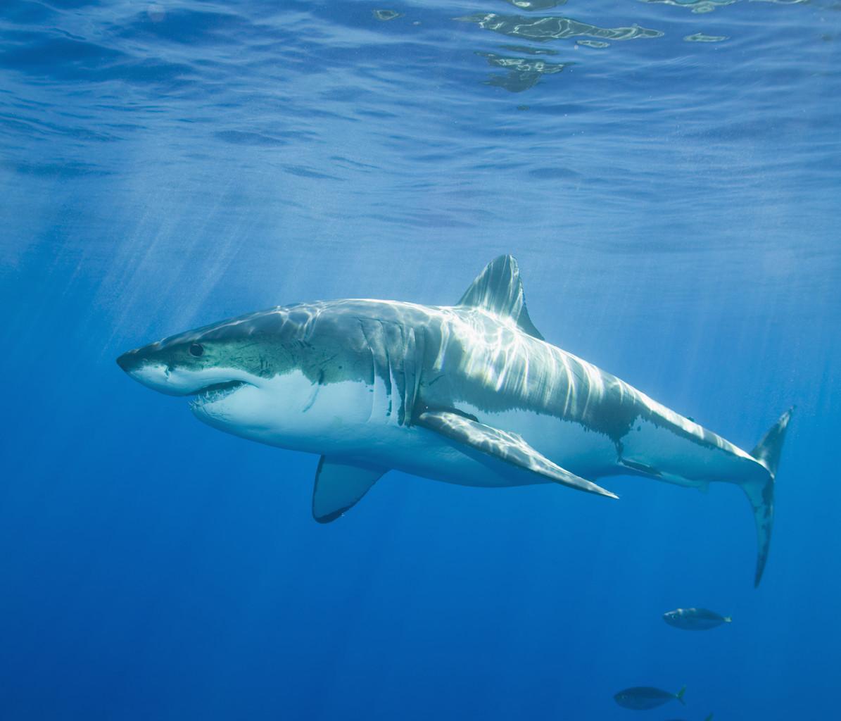 【图文】史上最伟大の海猛家族——鲨鱼图片