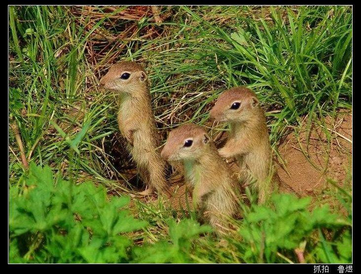土拨鼠在动物世界最&quot健谈&quot