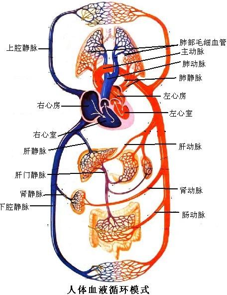 人体血分布图_解:人体的血液循环分为体循环和肺循环两条途径,如下图所示