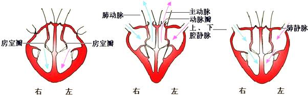 人体血分布�_心脏是输送血液的泵.以下有关人体心脏的叙述正确的是