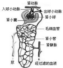 生物 肾脏的结构和功能.图片