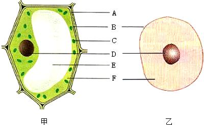 如图为动物细胞和植物细胞模式图,图中a~f指的是细胞图片