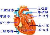人体血分布图_如图是人体心脏结构图,请根据图示回答下列问题