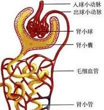 其结构和功能的基本单位是______,由______和肾小管组成.图片