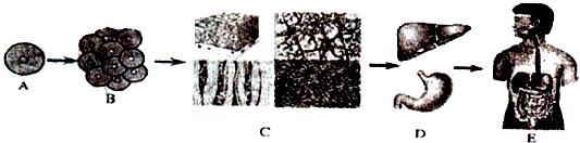 生物人体结构_生物 动物体人体的结构层次.