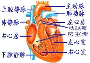 手被刀割流血的囹�a_解:(1)心脏的结构如图:从图中看出,图中a是左心房,d是右心室