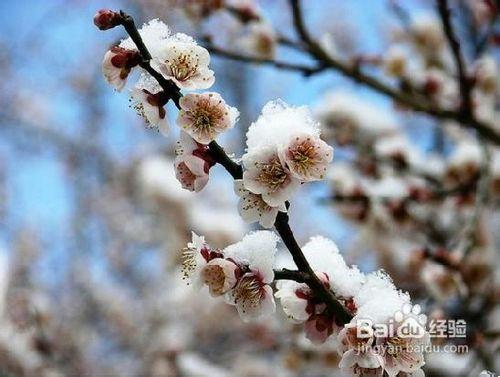 怎样区别桃花,杏花,梨花,樱花,梅花,李花