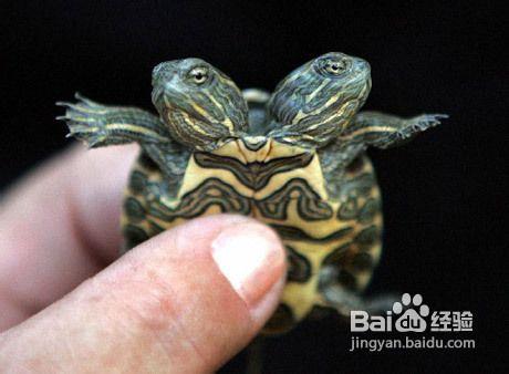 在乌龟冬眠的时候尽量给它制造一个安静的环境(460x338,24k)-乌龟