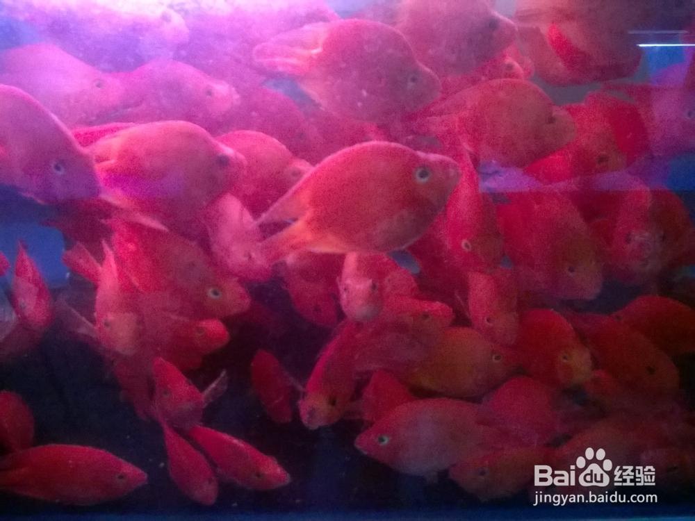 2cm左右的红色小 热带鱼是什么品种 还有如何喂养它